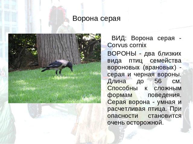 Ворона серая ВИД: Ворона серая - Corvus cornix ВОРОНЫ - два близких вида птиц семейства вороновых (врановых) - серая и черная вороны. Длина до 56 см. Способны к сложным формам поведения. Серая ворона - умная и расчетливая птица. При опасности станов…