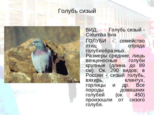 Голубь сизый ВИД: Голубь сизый - Columba livia ГОЛУБИ - семейство птиц отряда голубеобразных. Размеры средние, лишь венценосные голуби крупные (длина до 89 см). Ок. 290 видов; в России - сизый голубь, вяхирь, клинтух, горлицы и др. Все породы домашн…