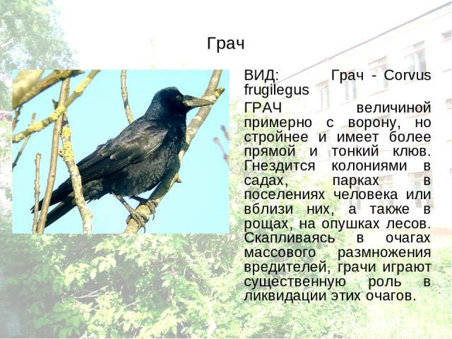 Грач ВИД: Грач - Corvus frugilegus ГРАЧ величиной примерно с ворону, но стройнее и имеет более прямой и тонкий клюв. Гнездится колониями в садах, парках в поселениях человека или вблизи них, а также в рощах, на опушках лесов. Скапливаясь в очагах ма…