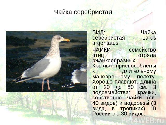 Чайка серебристая ВИД: Чайка серебристая - Larus argentatus ЧАЙКИ - семейство птиц отряда ржанкообразных. Крылья приспособлены к длительному маневренному полету. Хорошо плавают. Длина от 20 до 80 см. 3 подсемейства: крачки, собственно чайки (св. 40 …