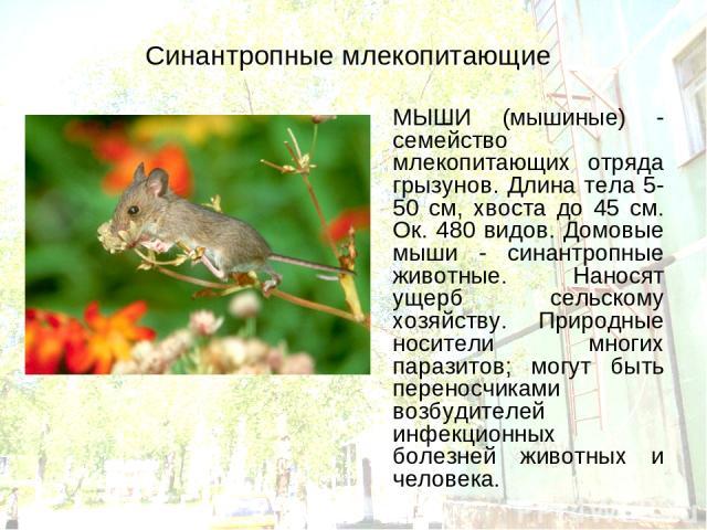 Синантропные млекопитающие МЫШИ (мышиные) - семейство млекопитающих отряда грызунов. Длина тела 5-50 см, хвоста до 45 см. Ок. 480 видов. Домовые мыши - синантропные животные. Наносят ущерб сельскому хозяйству. Природные носители многих паразитов; мо…
