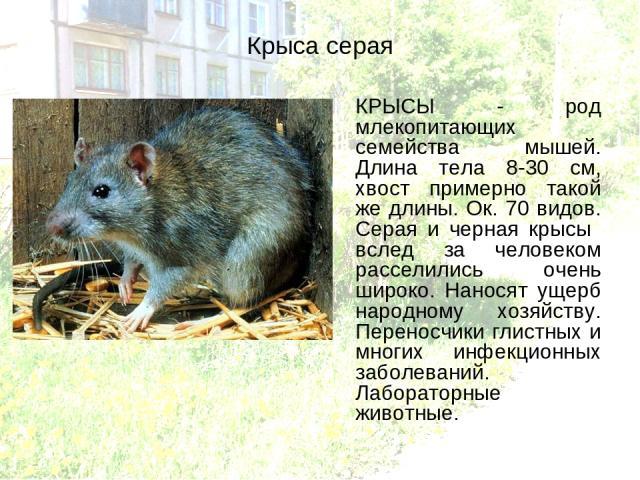 Крыса серая КРЫСЫ - род млекопитающих семейства мышей. Длина тела 8-30 см, хвост примерно такой же длины. Ок. 70 видов. Серая и черная крысы вслед за человеком расселились очень широко. Наносят ущерб народному хозяйству. Переносчики глистных и многи…