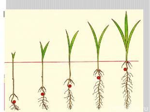 Надземное прорастание семян – семядоли выносятся на поверхность почвы (редька, т
