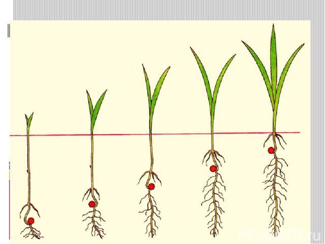 Надземное прорастание семян – семядоли выносятся на поверхность почвы (редька, томат, редис, тыква) Подземное прорастание семян – семядоли семени остаются под землей (горох, пшеница, дуб, боб)