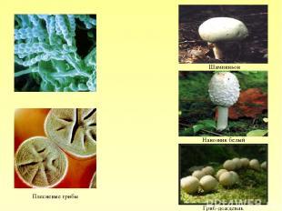 Плесневые грибы Гриб-дождевик Навозник белый Шампиньон
