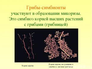 Грибы-симбионты участвуют в образовании микоризы. Это симбиоз корней высших раст