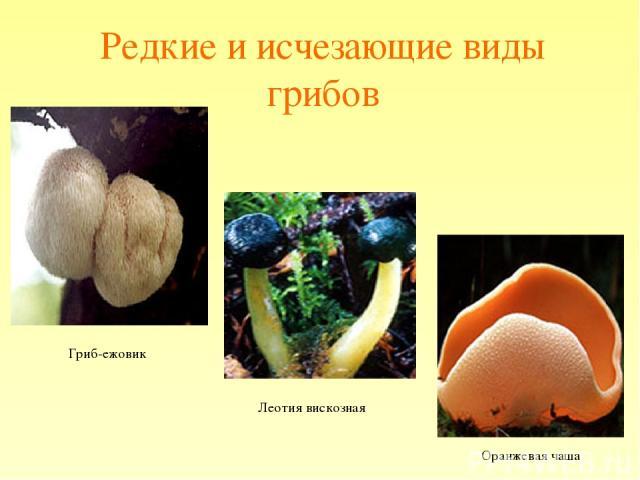 Редкие и исчезающие виды грибов Гриб-ежовик Леотия вискозная Оранжевая чаша