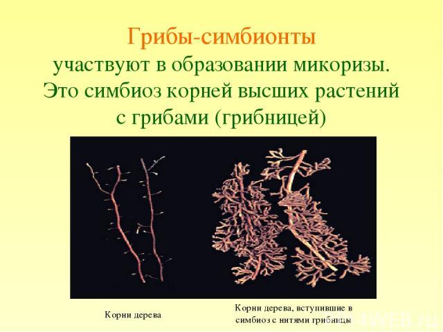 Грибы-симбионты участвуют в образовании микоризы. Это симбиоз корней высших растений с грибами (грибницей) Фотография микоризы Корни дерева Корни дерева, вступившие в симбиоз с нитями грибницы