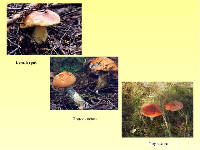 Белый гриб Подосиновик Сыроежки