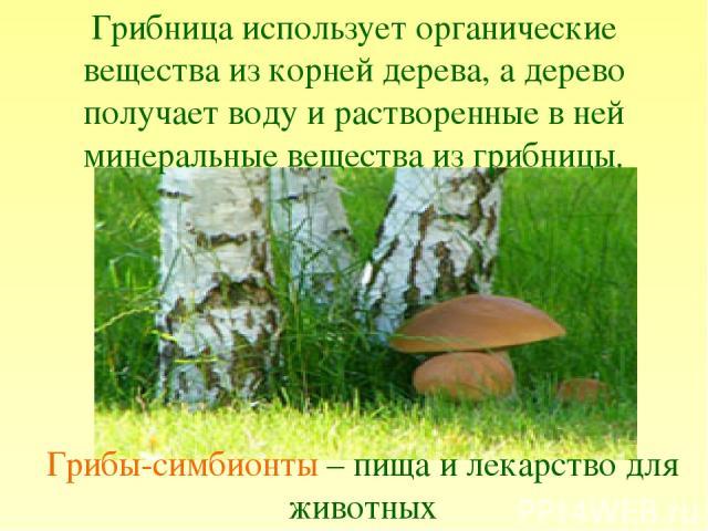 Грибница использует органические вещества из корней дерева, а дерево получает воду и растворенные в ней минеральные вещества из грибницы. Грибы-симбионты – пища и лекарство для животных