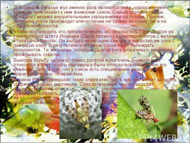 Для самцов рогатых мух именно рога являются теми «украшениями», которые привлекают к ним внимание самок. Самые крупные самцы обладают весьма внушительными украшениями на голове. Причем, величина рогов производит впечатление не только на самку, но и …