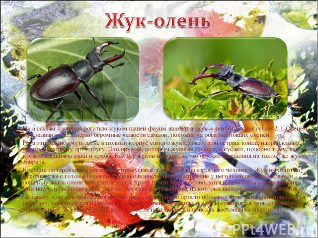 Ну а самым крупным рогатым жуком нашей фауны является жук-олень (Lucanus cervus L.). Оленем жук назван за непомерно огромные челюсти самцов, похожие на рога настоящих оленей. Рога эти, длиной чуть ли не в полный корпус самого жука, имеют три острых …