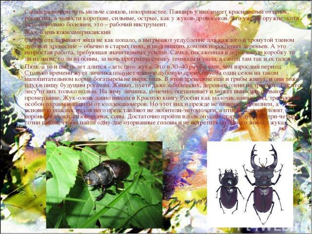 Самки размером чуть мельче самцов, покоренастее. Панцирь у них имеет красноватый оттенок, рогов нет, а челюсти короткие, сильные, острые, как у жуков-дровосеков. Это уже не оружие, хотя укус довольно болезнен, это – рабочий инструмент. Жук-олень южн…
