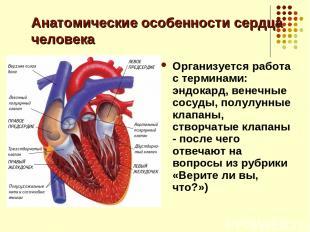 Анатомические особенности сердца человека Организуется работа с терминами: эндок