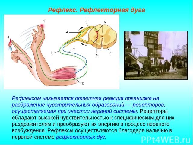 Рефлекс. Рефлекторная дуга Рефлексом называется ответная реакция организма на раздражение чувствительных образований — рецепторов, осуществляемая при участии нервной системы. Рецепторы обладают высокой чувствительностью к специфическим для них раздр…