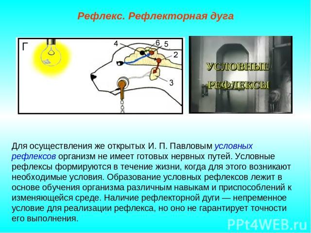 Рефлекс. Рефлекторная дуга Для осуществления же открытых И. П. Павловым условных рефлексов организм не имеет готовых нервных путей. Условные рефлексы формируются в течение жизни, когда для этого возникают необходимые условия. Образование условных ре…