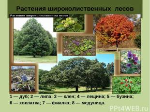 Растения широколиственных лесов 1 — дуб; 2 — липа; 3 — клен; 4 — лещина; 5 — буз