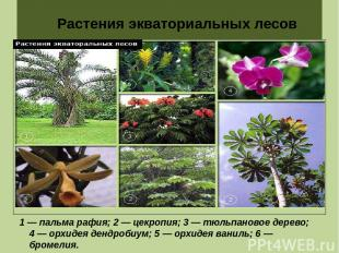Растения экваториальных лесов 1 — пальма рафия; 2 — цекропия; 3 — тюльпановое де