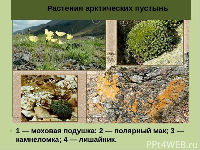 1 — моховая подушка; 2 — полярный мак; 3 — камнеломка; 4 — лишайник. Растения арктических пустынь