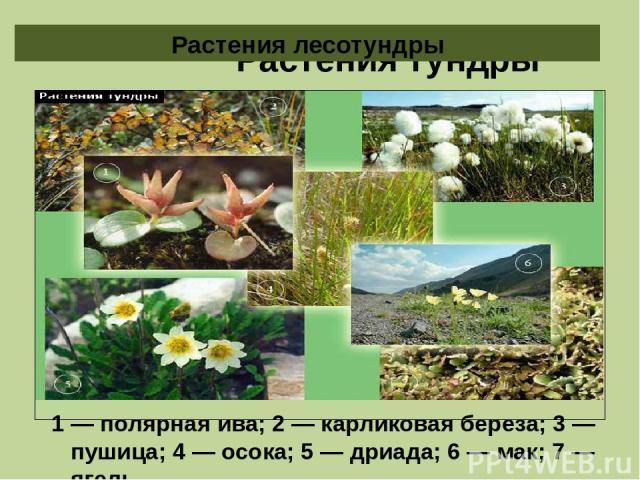Растения тундры 1 — полярная ива; 2 — карликовая береза; 3 — пушица; 4 — осока; 5 — дриада; 6 — мак; 7 — ягель. Растения лесотундры