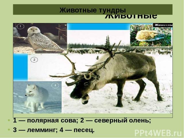 Животные тундры 1 — полярная сова; 2 — северный олень; 3 — лемминг; 4 — песец. Животные тундры