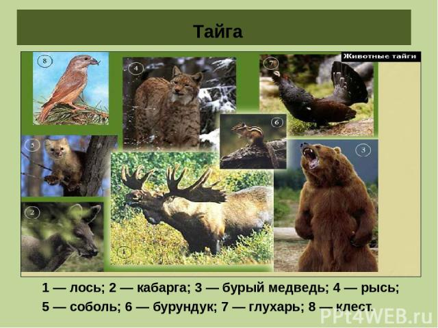 Животные тайги 1 — лось; 2 — кабарга; 3 — бурый медведь; 4 — рысь; 5 — соболь; 6 — бурундук; 7 — глухарь; 8 — клест. Тайга