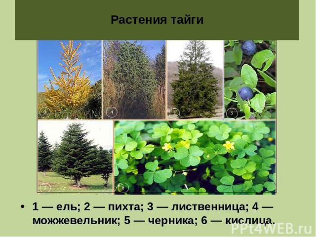 1 — ель; 2 — пихта; 3 — лиственница; 4 — можжевельник; 5 — черника; 6 — кислица. Растения тайги