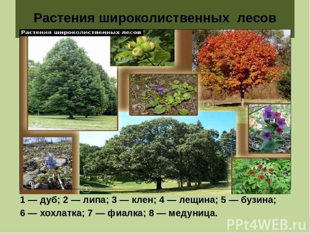 Растения широколиственных лесов 1 — дуб; 2 — липа; 3 — клен; 4 — лещина; 5 — бузина; 6 — хохлатка; 7 — фиалка; 8 — медуница.