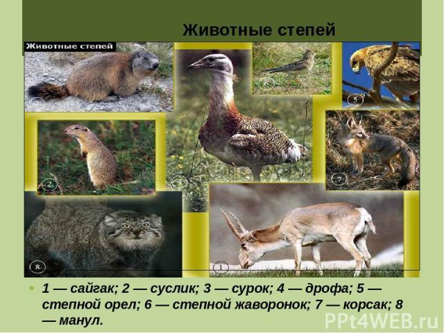 Животные степей 1 — сайгак; 2 — суслик; 3 — сурок; 4 — дрофа; 5 — степной орел; 6 — степной жаворонок; 7 — корсак; 8 — манул.