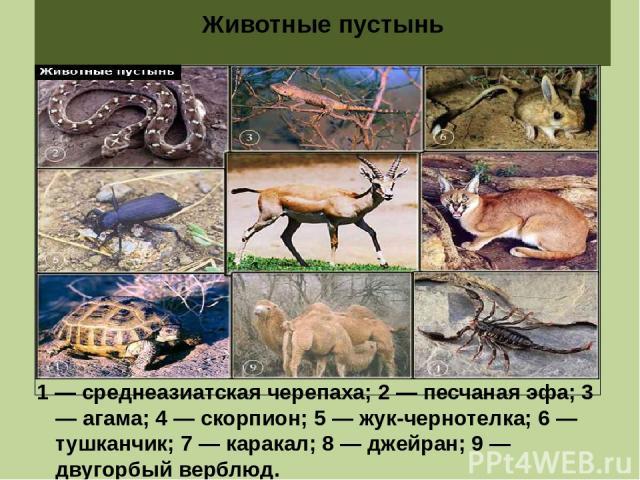 Животные пустынь 1 — среднеазиатская черепаха; 2 — песчаная эфа; 3 — агама; 4 — скорпион; 5 — жук-чернотелка; 6 — тушканчик; 7 — каракал; 8 — джейран; 9 — двугорбый верблюд.
