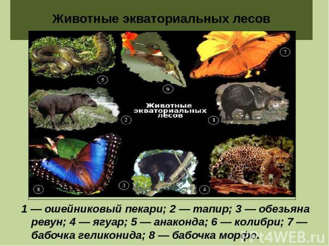 Животные экваториальных лесов 1 — ошейниковый пекари; 2 — тапир; 3 — обезьяна ревун; 4 — ягуар; 5 — анаконда; 6 — колибри; 7 — бабочка геликонида; 8 — бабочка морфо.