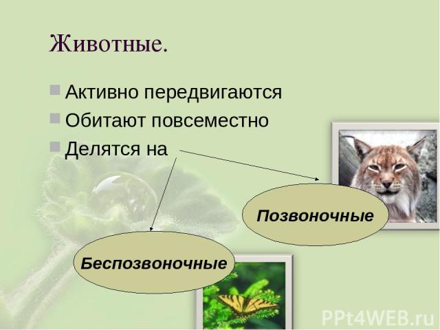 Животные. Активно передвигаются Обитают повсеместно Делятся на Позвоночные Беспозвоночные