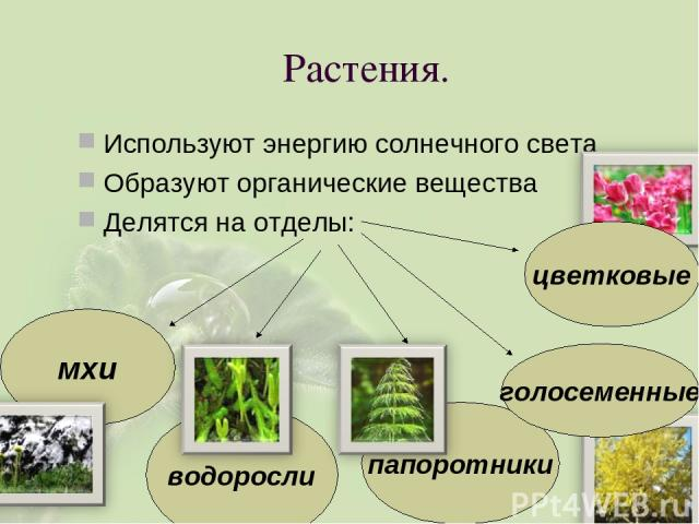Растения. Используют энергию солнечного света Образуют органические вещества Делятся на отделы: цветковые папоротники водоросли мхи голосеменные