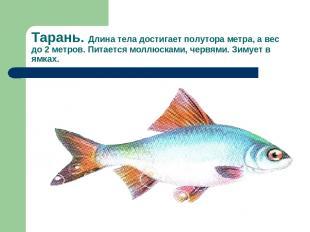 Тарань. Длина тела достигает полутора метра, а вес до 2 метров. Питается моллюск