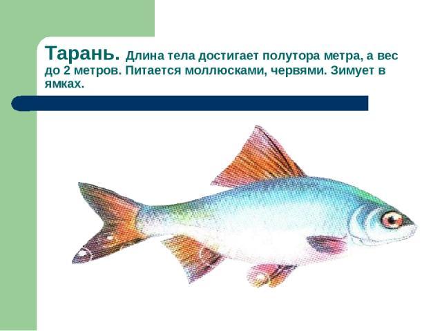 Тарань. Длина тела достигает полутора метра, а вес до 2 метров. Питается моллюсками, червями. Зимует в ямках.