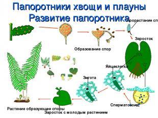 Папоротники хвощи и плауны Развитие папоротника Растение образующее споры Образо