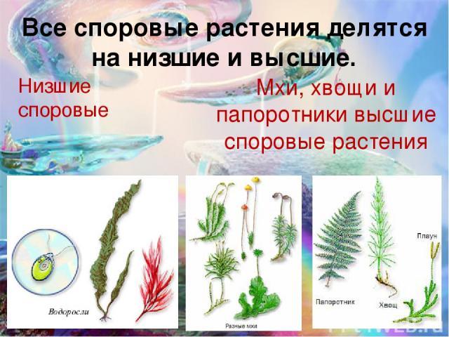 Все споровые растения делятся на низшие и высшие. Низшие споровые Мхи, хвощи и папоротники высшие споровые растения