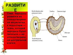 РАЗВИТИЕ Семя. Зародыш развился из оплодотворенной яйцеклетки, аэндосперм— тка