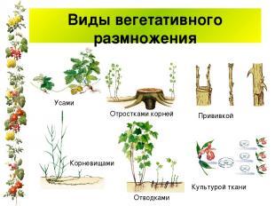 Виды вегетативного размножения Усами Корневищами Отростками корней Отводками При