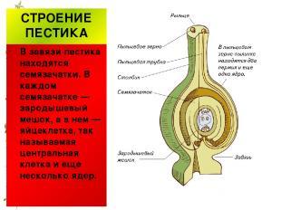 СТРОЕНИЕ ПЕСТИКА В завязи пестика находятся семязачатки. В каждом семязачатке —