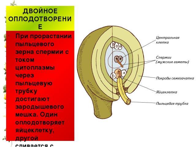 ДВОЙНОЕ ОПЛОДОТВОРЕНИЕ При прорастании пыльцевого зерна спермии с током цитоплазмы через пыльцевую трубку достигают зародышевого мешка. Один оплодотворяет яйцеклетку, другой сливается с центральным ядром.