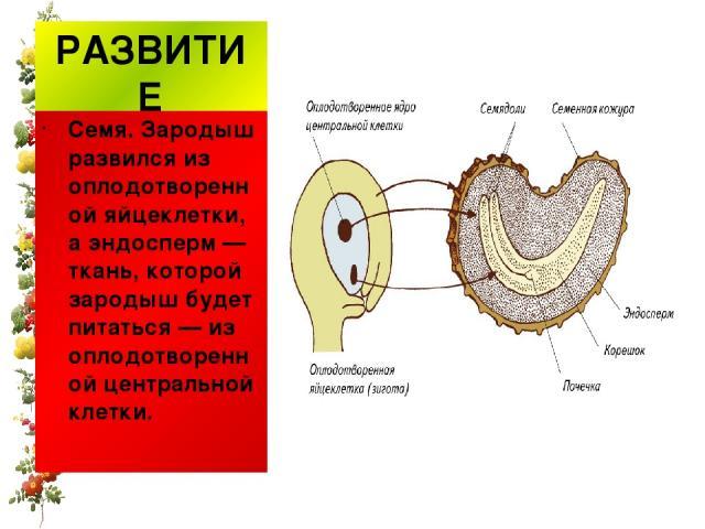 РАЗВИТИЕ Семя. Зародыш развился из оплодотворенной яйцеклетки, аэндосперм— ткань, которой зародыш будет питаться— из оплодотворенной центральной клетки.