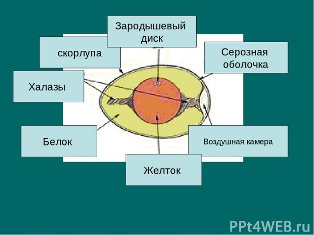 скорлупа Зародышевый диск Серозная оболочка Воздушная камера Желток Белок Халазы