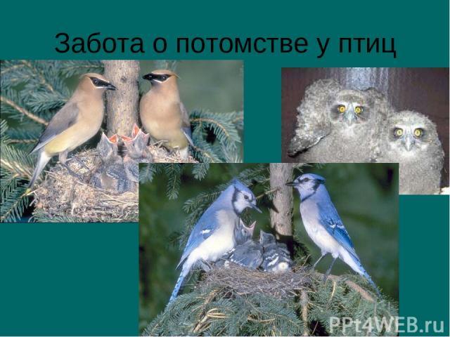 Забота о потомстве у птиц