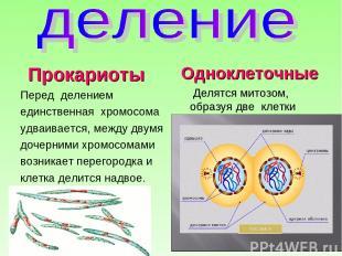 Прокариоты Перед делением единственная хромосома удваивается, между двумя дочерн