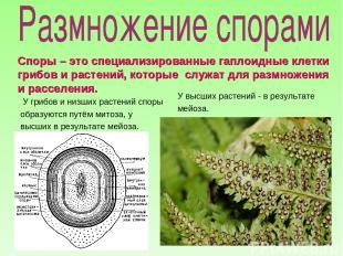 У грибов и низших растений споры образуются путём митоза, у высших в результате