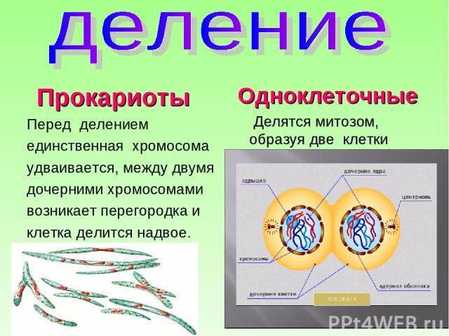 Прокариоты Перед делением единственная хромосома удваивается, между двумя дочерними хромосомами возникает перегородка и клетка делится надвое. Одноклеточные Делятся митозом, образуя две клетки