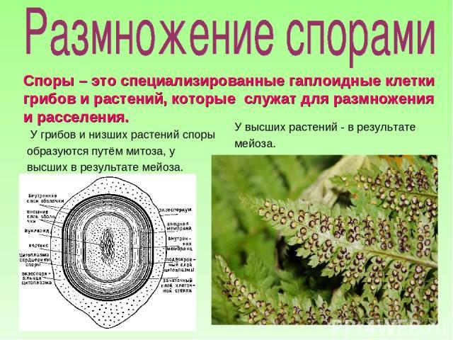У грибов и низших растений споры образуются путём митоза, у высших в результате мейоза. У высших растений - в результате мейоза. Споры – это специализированные гаплоидные клетки грибов и растений, которые служат для размножения и расселения.