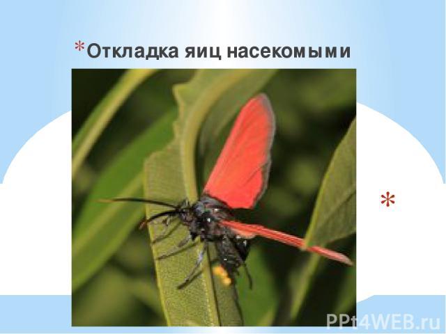 Откладка яиц насекомыми