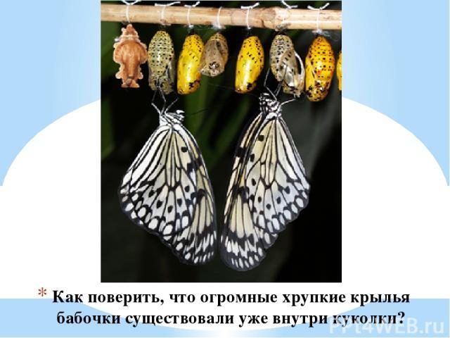 Как поверить, что огромные хрупкие крылья бабочки существовали уже внутри куколки?
